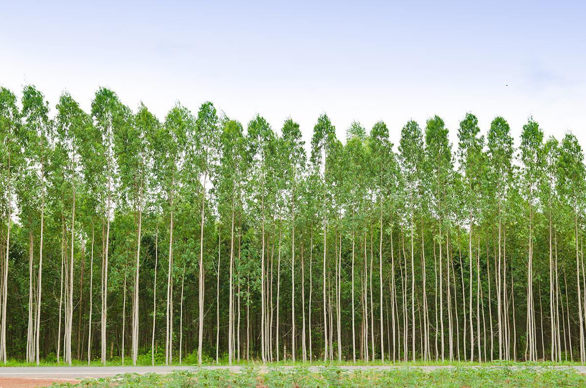 Mesurer l'Eucalyptuset le bois à pâte
