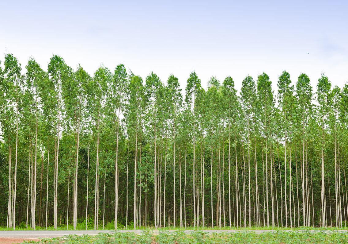 Measuring-Eucalyptus-and-Pulpwood