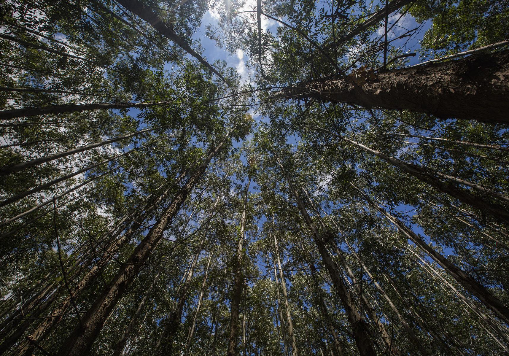 bigstock-Eucalyptus-Forest-In-Sao-Paulo-217052998