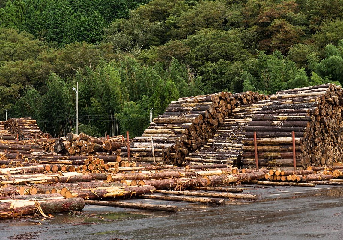 Pine timber stacked at lumber yard